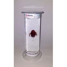 planmystudy Biological Specimen ( biospecimen) of cockroach for students, lab and research