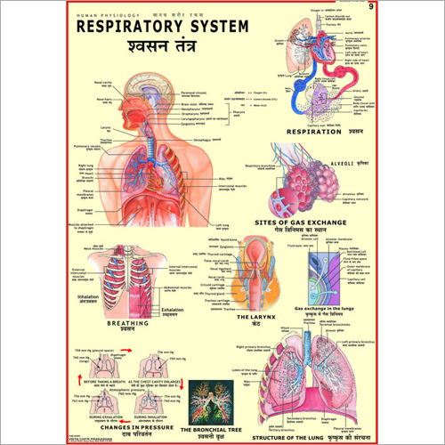 Topics include human heart kidney respiratory system skeletal human anatomy charts class 5 onwards set of 4 ccuart Images